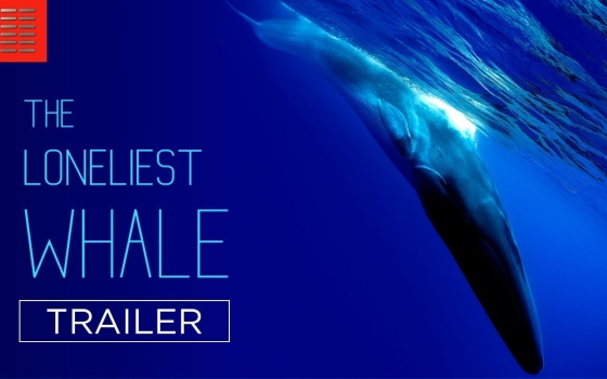 Trailer: In Search for <I>The Loneliest Whale</I>
